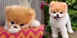 دنیا کا خوبصورت ترین کتا مرگیا، مالک افسردہ