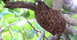 میاں چنوں کے ایک اسکول میں شہد کی مکھیوں نے حملہ کر دیا