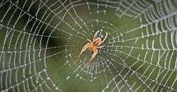کیا آپ جانتے ہیں کہ مکڑی بچے پیدا کرنے کے بعد بچوں کے باپ کو کیوں قتل کرتی ہے ؟ 