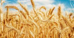 روس سے تین لاکھ ٹن گندم منگوانے کا فیصلہ