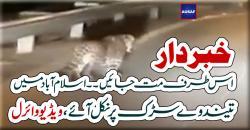 خبر دار  اس طرف مت جائیں ۔۔ اسلام آباد میں  تیندوےسڑک پر نکل آئے، ویڈیو وائرل