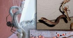 یہ خوفناک مکڑیاں سانپوں کو بھی کھا جاتی ہیں!